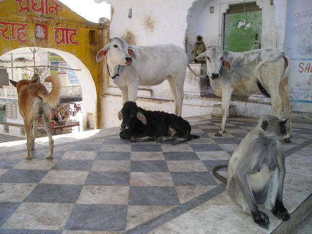 Her taler vi klassisk Nordindienrejse! I starter i den pulserende og moderne storby Delhi, hvorfra I med tog kører nordpå til Himalaya tæt ved Gangesflodens udspring. Pilgrimme valfarter til Haridwar for at bade i Ganges, og i Rishikesh kan I overvære de spektakulære articeremonier, mens solen går ned over de hvide tinder.