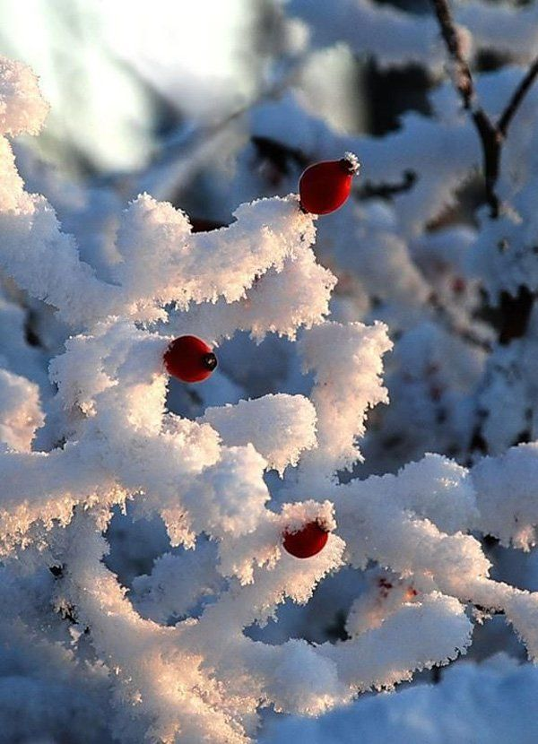 Rose hips remain colourful in winter and are often left standing to provide 'winter interest' in the garden.