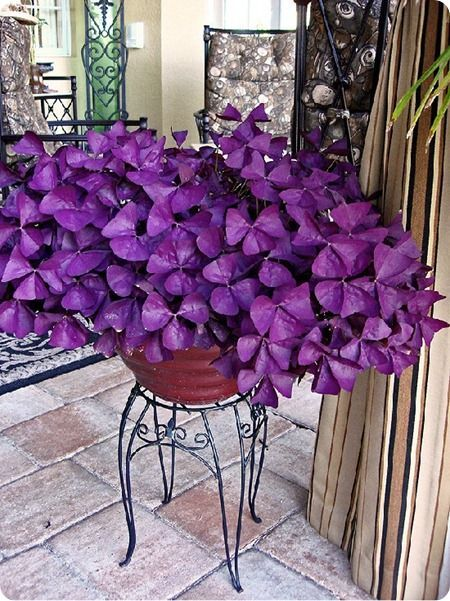 Oxalis purple clover. I have this but scared to plant it in the ground.  Very aggressive plant.