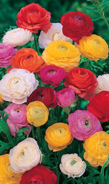 ~~Persian Buttercup | Ranunculus, a beautiful display of blooms of yellow, gold, red, pink, white and orange. Ideal for borders and cuttings. Hardy in Zones 8 - 10 | Veseys~~