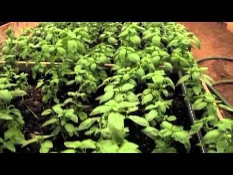 Ecocentric Farm (Fresh Cut Culinary Herbs)