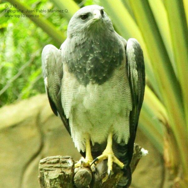 Aguila Gris del Paramo en la Cordillera Central de Suramerica