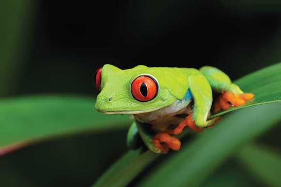 Red Eyed Tree Frog -  Robert Thompson  #photography #macro #nature