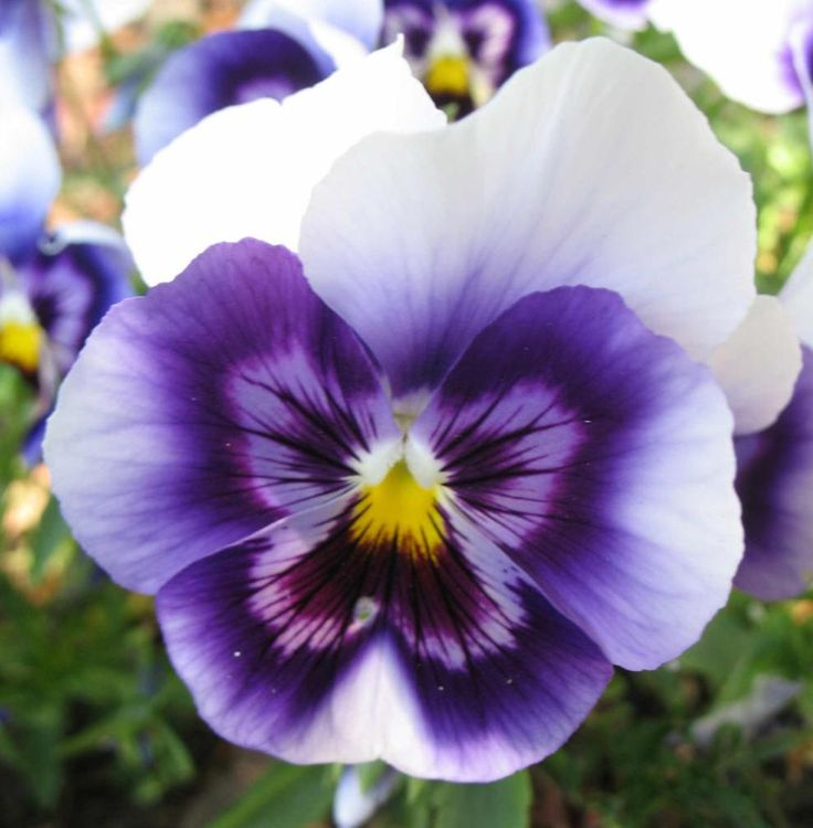 Purple And Yellow Pansy Flower | www.imgkid.com - The ...