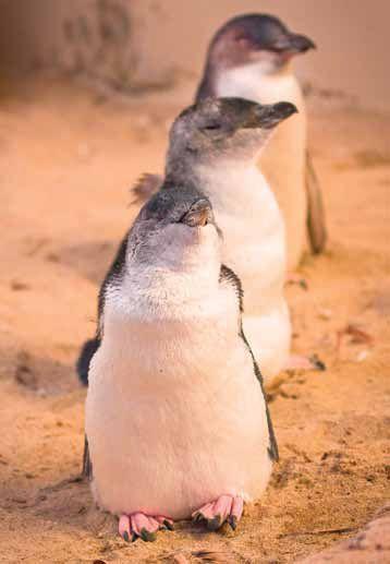フィリップ島でペンギンパレードを見る。メルボルン旅行の観光アイデア。