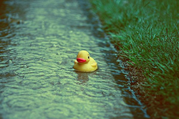rainy day duck