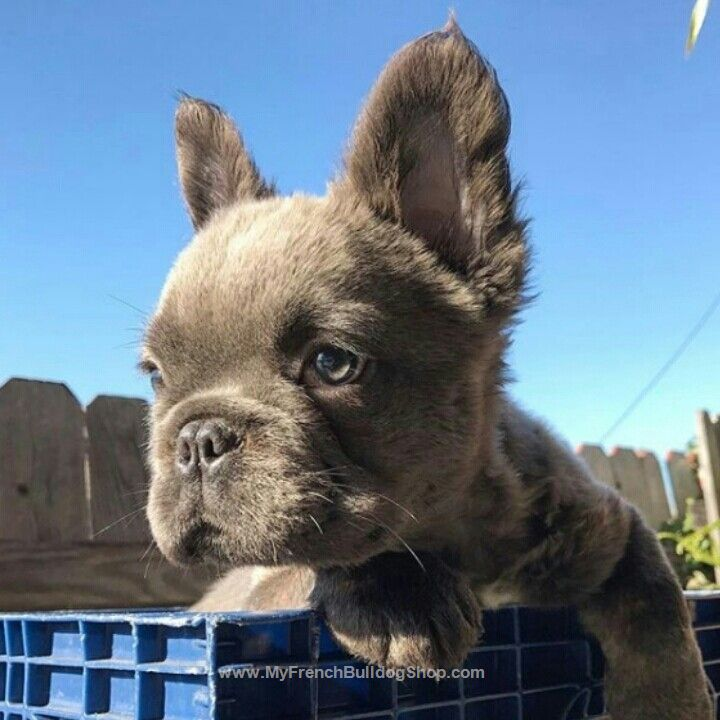 long haired french bulldog best 25 long haired french bulldog ideas on pinterest 614
