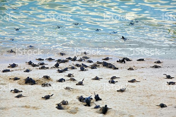 Turtle Hatchlings royalty-free stock photo