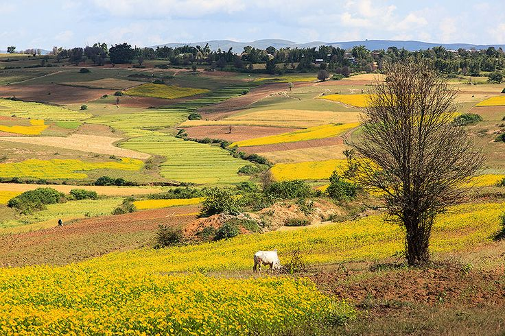 motoring across shan plateau to pindaya fields of sesame and mustard