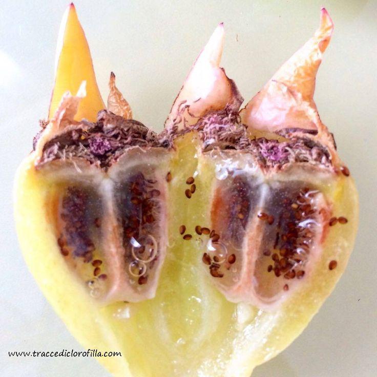 I frutti e le foglie del Fico degli Ottomani: come utilizzarli in cucina ed erboristeria: http://www.greenme.it/spazi-verdi/clorofilla/3041-andar-per-piante-selvatiche-carpobrotus,-il-fico-degli-ottentotti