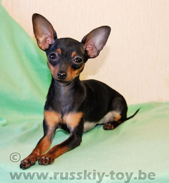 Mexican Hairless Terrier | importing dogs ? doberman breeders ? - Page 3 - Reptile Forums