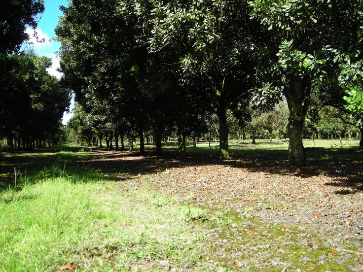 Macadamia Nut Trees, Orchard