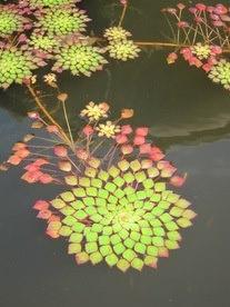 waterplant ..... so pretty