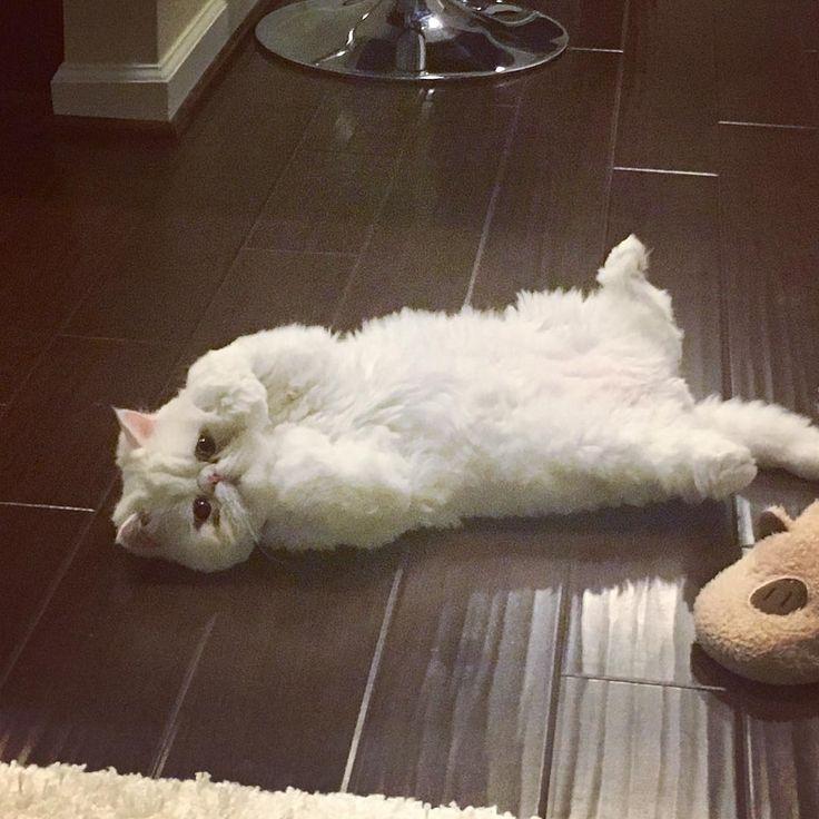 いいね!20件、コメント1件 ― Persian Loverさん(@persian_loverz)のInstagramアカウント: 「Posted by @persian.cats.lovers Pic from @itsameatball For a shoutout use on your pic! 📸 Like and…」