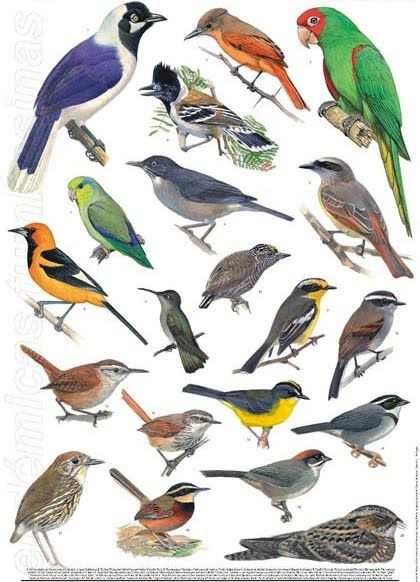 Aves que viven en Chile (Ilustración)