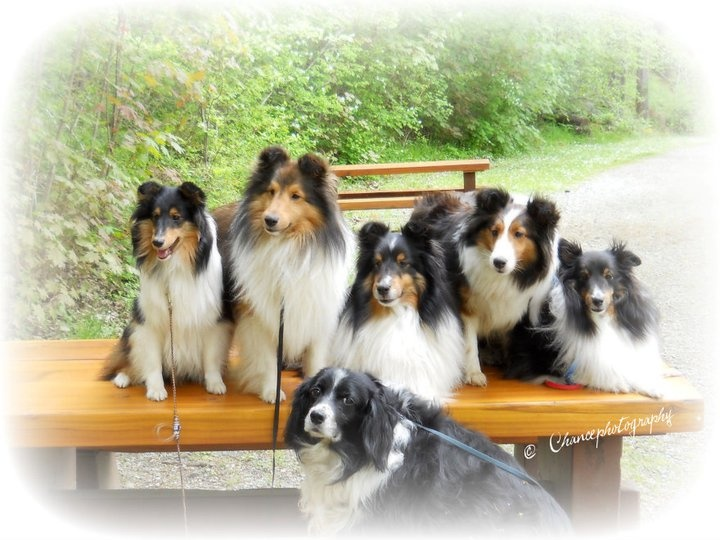 Mosaic Shelties and Abby ~ Photo taken by Chance Photography Canada