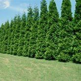 Emerald Green Thuja | Emerald Arborvitae Trees for Sale | Fast Growing Trees