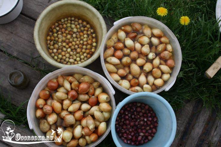 Обработка лука перед посадкой позволит вырастить крупные луковицы! Бабушкин секрет! Зола в помощь, соль и препараты, удобрения и подробные указания