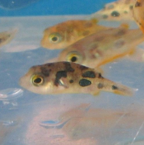 17 best images about fish aquariums on pinterest live for Freshwater puffer fish care