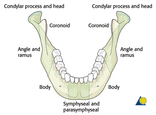 82 best images about mandible on pinterest | angles, flats and healthy, Human Body