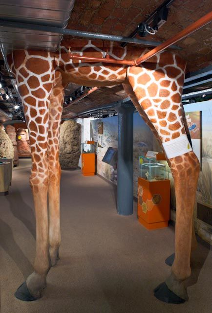 Underbelly and Legs of Giraffe