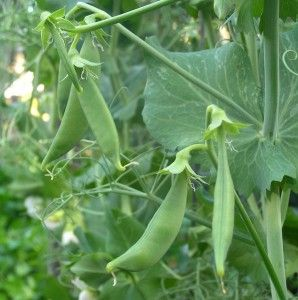 Top 10 List Of Easy To Grow Vegetables | Gardendrum.com