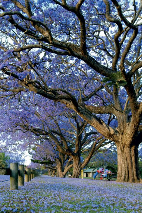 Jacaranda season! Pretoria in October, Buenos Aires in November.