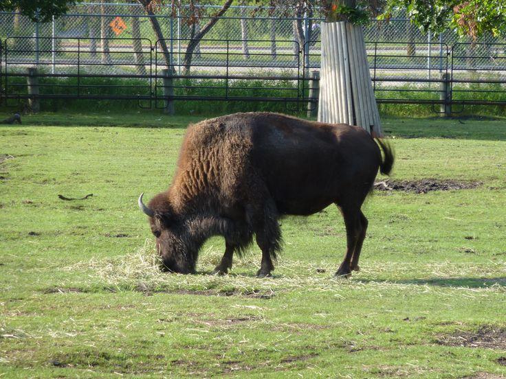 Winnipeg Zoo - Bison