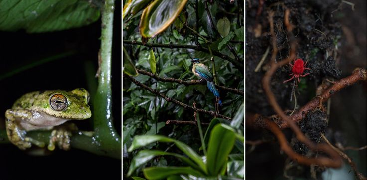 From left: although listed as near-threatened, this tree frog is relatively common in the cloud forests around Veracruz; a blue-crowned motmot seeks shelter from the rain in the lower branches of a cloud forest tree near Xalapa; brightly colored velvet mites like this one emerge from the forest litter after a rain to hunt for other small invertebrates.