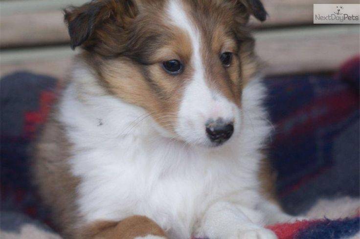 You'll love this Male Shetland Sheepdog - Sheltie puppy looking for a new home.