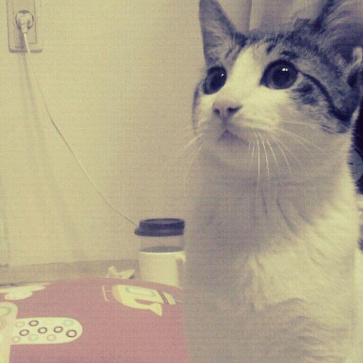 고양이 만두냥이