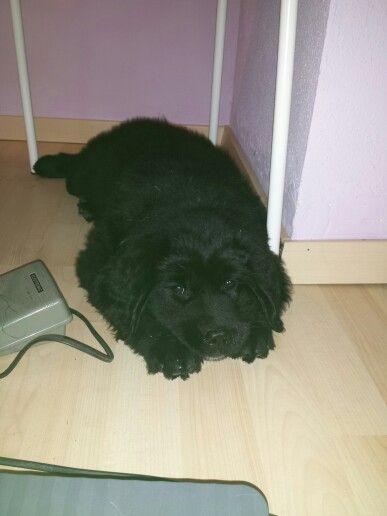 Maya piccola cucciola di terranova #dog #terranova #cucciolo #dolce #love