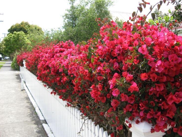 rote Drillingsblume / Bougainvillea schmückt weißen Zaun