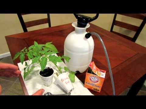 How to Treat Powdery Mildew on Vegetables and Tomatoes Using Baking Soda. The powder stuff your cuke and zuke leaves get. This works!