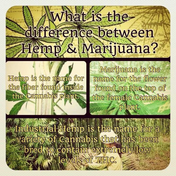 Charlotte's Web - The difference between Hemp and Marijuana ...