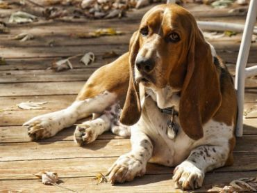 #BassetHound – Pictures, Facts, and User Reviews http://www.pindoggy.com/pin/9070/