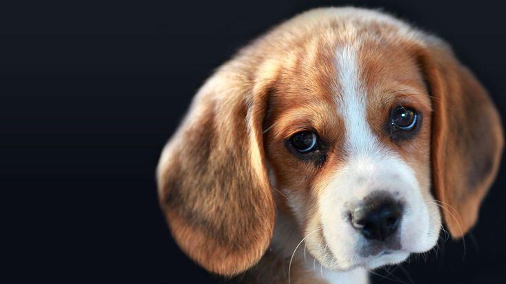 Le beagle, chien de chasse et compagnon fidèle