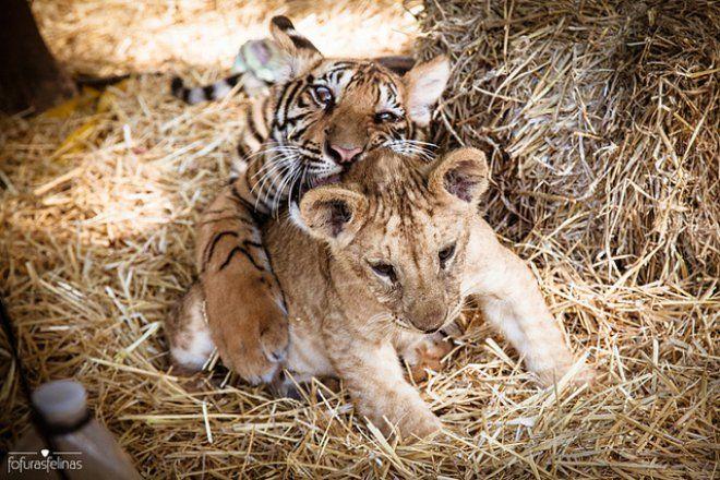 L'AMORE NON HA CONFINI - Donnesi.com #donnesì #donne #cuccioli #tigre #leone #fratelli #natura #wild #nature #coccole #love