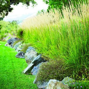 Feather reed grass (Calamagrostis x acutiflora).  I am going to do this in my yard!  Maybe for chicken habitat.