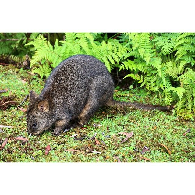 Pademelons are adorable via http://buff.ly/1Pf395L?utm_content=buffera740f&utm_medium=social&utm_source=pinterest.com&utm_campaign=buffer #Tasmania #wildlife