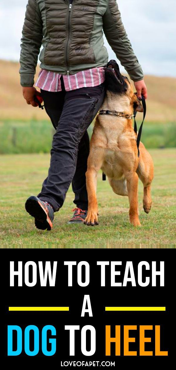 How To Teach A Dog To Heel Perfectly Dog Training Training Your