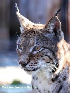 Wild Animals - Romanian bobcat