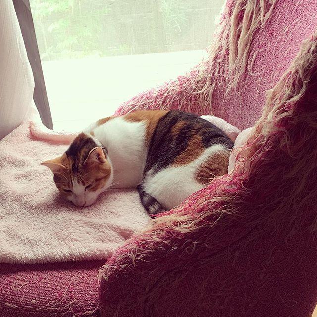 久しぶりのお日さま。 でもまた台風来てるんだって。。。 日向ぼっこ、今のうちにしなくちゃね。 ○ ○ #マリー#三毛猫#しまみけ#愛猫#猫#猫好き#ilovecats#猫のいる生活#猫のいる暮らし#にゃんすたぐらむ#にゃんだふるらいふ#すべての猫に幸せを#ネコダスケステーション#日向ぼっこ#読書用ソファーがえらいことになっている件
