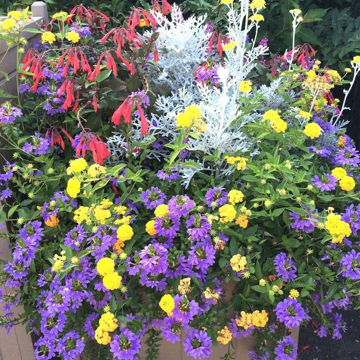 Flowers Garden Design,Garden Design,Lantana Flower Garden Design,lantana species