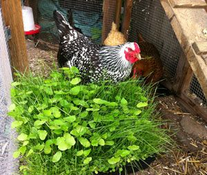 Growing Your Own Forage Blend is Easy You don't have to be a Master Gardener to grow your own Chicken Forage Blend. All it takes is a little know-how and a short list of supplies. My instructions will only show you how to grow one 17 inch flat of the seed blend, but if you understand the concept of successive gardening, you can schedule multiple sowings two weeks apart for a continuous supply throughout the growing season
