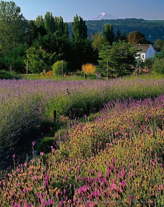 104 best images about lavender lover on pinterest for Indoor gardening rainier oregon