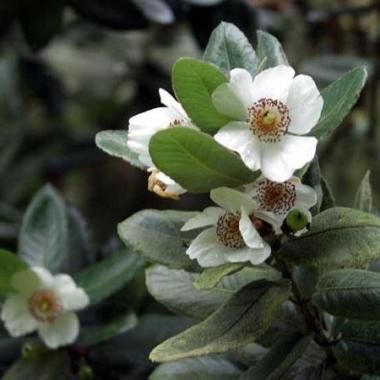 Evergreen - Eucryphia cordifolia Seeds, Ulmo - Flowering Exotic Tree Seeds was listed for R1.90 on 13 May at 06:02 by Seeds and All in Port Elizabeth (ID:185347624)