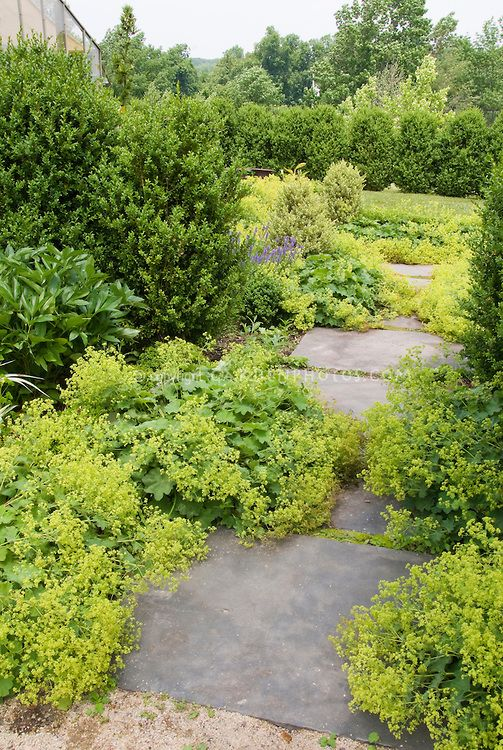 6. Alchemilla mollis lady's mantle ground cover in flower with stone path walkway, boxwood Buxus shrubs