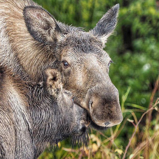 A little moose love....#moose #alaska #urbanmoose #anchorage @m43cameras taken with Olympus OM-D EM-1
