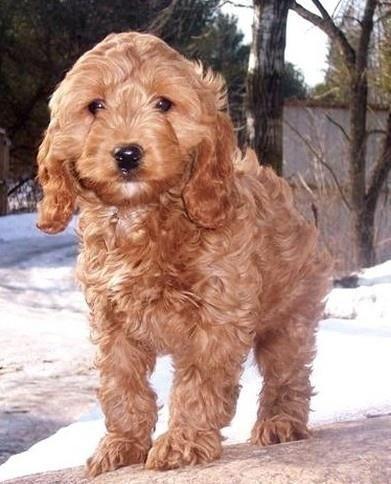 Cocker Spaniel + Poodle mix